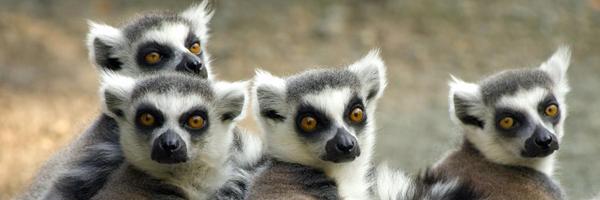 Lémures en Madagascar